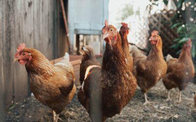 FSA avian flu advice